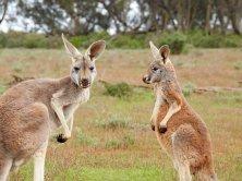 kangaroos-1563624__340